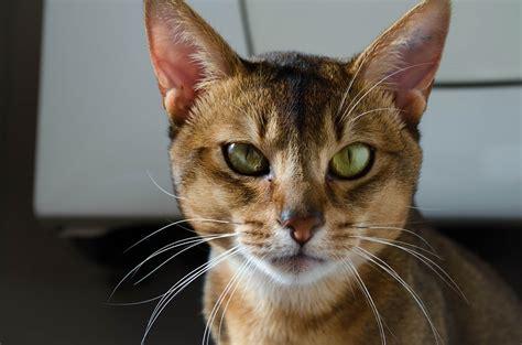 kostenloses foto abessinier katze kopf gesicht