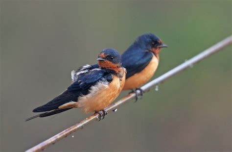 Barn Swallow Behavior Shift May Be Evolutionary