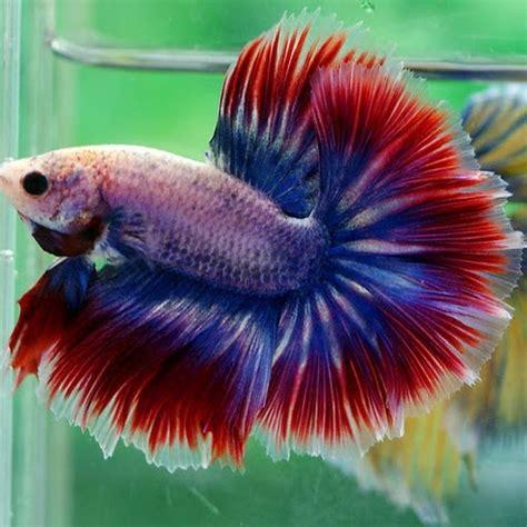 betta fish wild type betta macrostoma