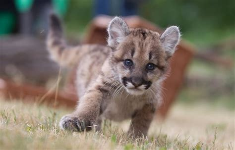 Baby Puma Animal