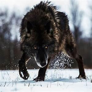 Black Timber Wolf ♥♥   Photo by @sj_nate #Destination_wild ...