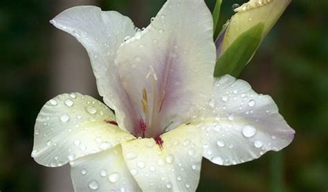 when to plant gladiolus today s homeowner