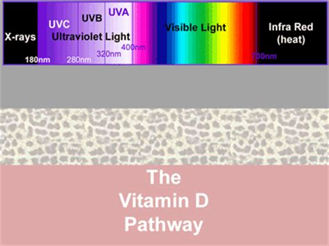 uv lighting for reptiles vitamin d synthesis in ultraviolet light