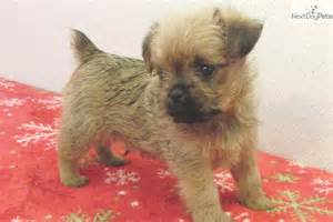 Brussels Griffon Puppies Sale