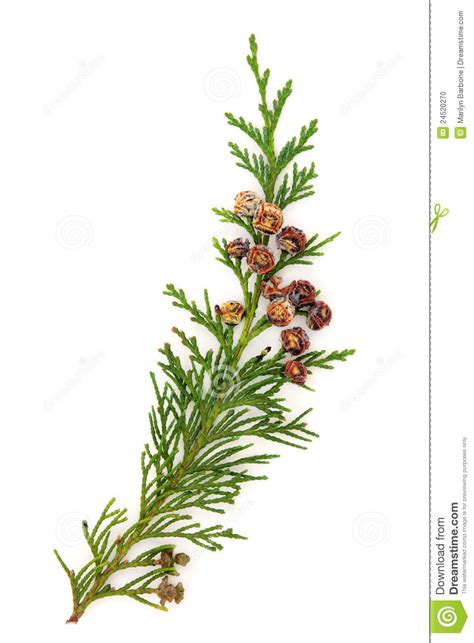 cedar leaves stock photo image