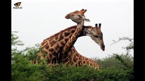 Giraffe Fight for Dominance - YouTube