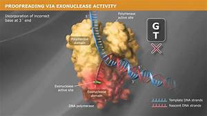 Dna Replication With A Proofreading Polymerase