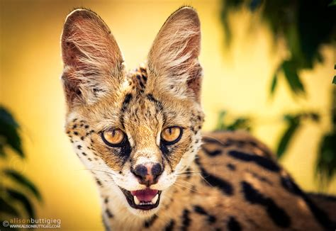 servals caracals alison buttigieg travel  photography