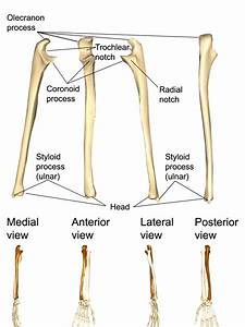 Wiring And Diagram  Diagram Of Ulna
