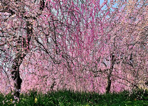 pictures   years japanese cherry