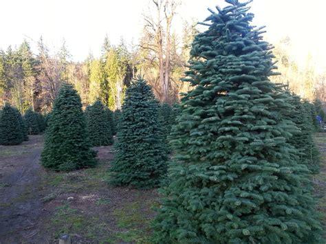 coates christmas trees farm christmas trees auburn wa