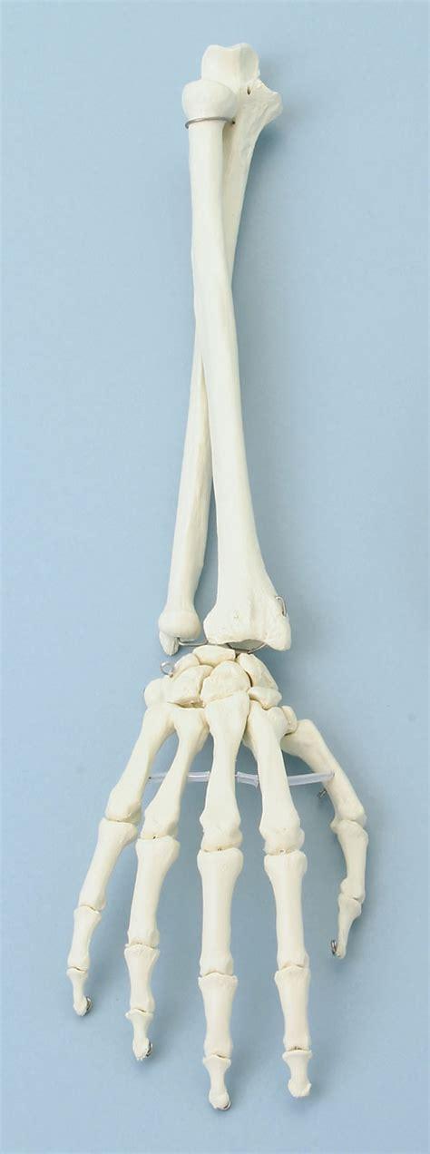 skelettmodelle obere extremitaetarmskeltetthandskelett
