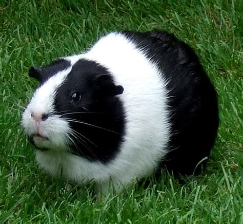 guinea pig names guinea pig names for boys pet orb