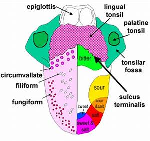 The Histology Guide