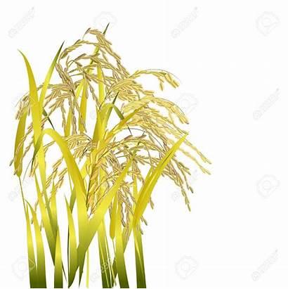Rice Clipart Paddy Grains Plant Harvest Single
