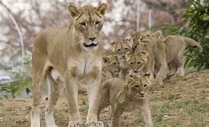 Lion | Smithsonian's National Zoo