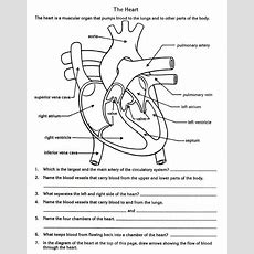 Free Parts Of The Heart Worksheets  Describe The Function Of The Heart In The Circulatory