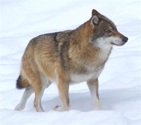Filewolf Voor De Natuur Saxifraga Jan Nijendijk