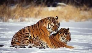 Are Wild Tiger Numbers Increasing? - WorldAtlas.com