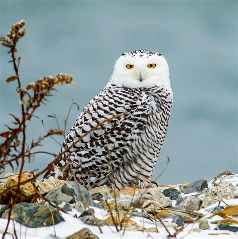 tips  respectfully viewing snowy owls  sachuest