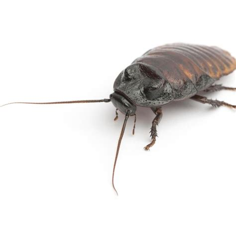 Wie Sehen Kakerlaken Aus by Wie Sehen Kakerlaken Aus Schaben Kakerlaken Biotec Klute
