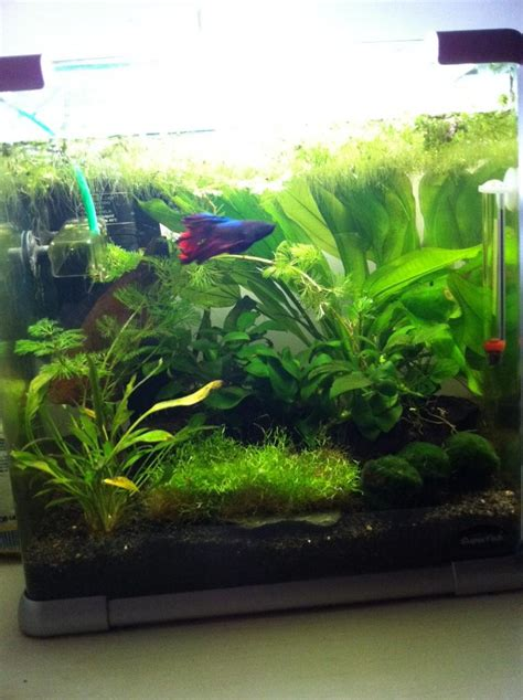 aquarium ideal pour combattant une sorte de duvet blanc forum aquarium