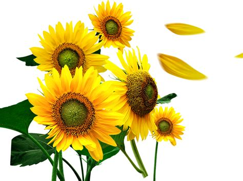 girassol flor clipart images gallery