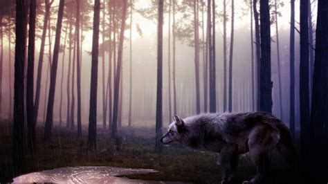 wild wolf hd animals  wallpapers images backgrounds