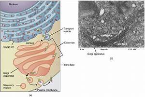 This Figure Shows The Structure Of The Golgi Apparatus