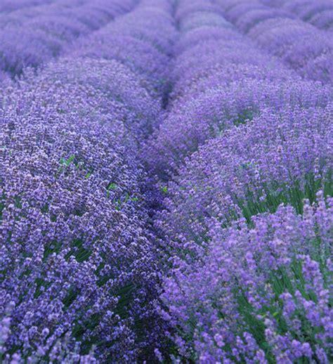 true lavender plants my lestary seeds