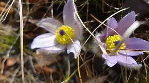 Warum Sind Pflanzen Grün : warum hei en pflanzen halleri scheuchzeri fleischeri ~ Markanthonyermac.com Haus und Dekorationen