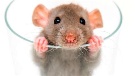 rat white background images awb