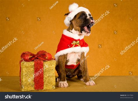 Brindle Boxer Puppy With Santa Outfit And Christmas Gift