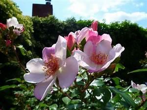 Sweet Pretty Rose : sweet pretty floribunda rose buy at agel rosen ~ A.2002-acura-tl-radio.info Haus und Dekorationen