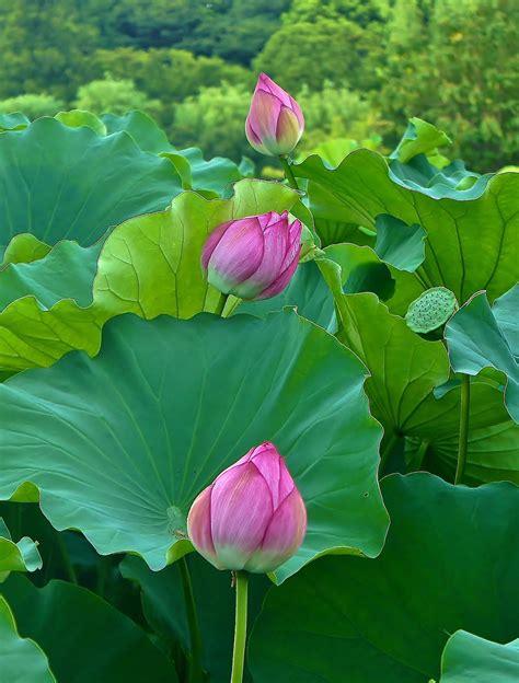 Beautiful Lotus flowers at Shinobazu Pond in Ueno Park ...