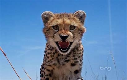 Cheetah Bing Wallpapers Animal Cub January Backgrounds