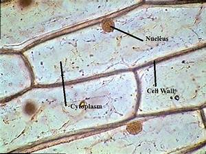 Onion Epidermal Cell Labeled Onion Epidermal Cell Labeled