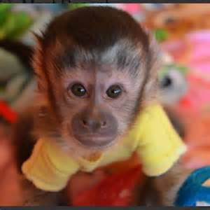 Cute Baby Capuchin Monkey