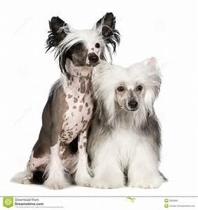 Chinese Crested Dog - Powderpuff Stock Photo - Image: 5853960
