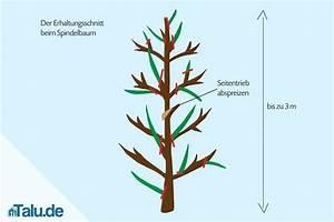 Kirschbaum Richtig Schneiden : apfelbaum als spindel und spalier in form schneiden ~ Lizthompson.info Haus und Dekorationen