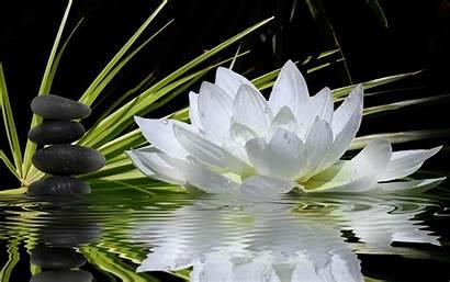 Lotus Flower Flowers Wallpapers Resolution Water Widescreen