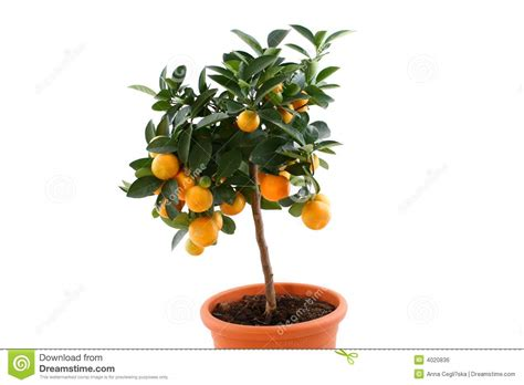 Orange Tree With Small Fruits Royalty Free Stock Image
