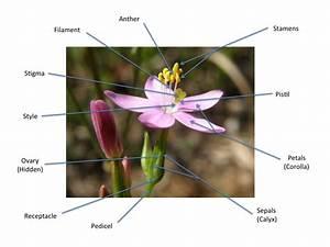 Flower Description Glossary