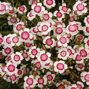 arctic fire dianthus   Flowers   Pinterest