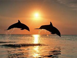 Dolphins Jumping In The Sunset | dolphins jumping in the ...