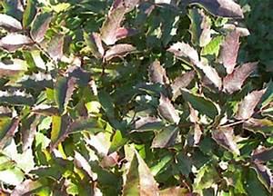 Kleinwüchsige Immergrüne Hecke : mahonia aquifolium mahonie f r immergr ne hecken ~ Lizthompson.info Haus und Dekorationen