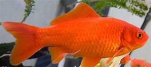 Goldfisch Haltung Im Teich : goldfische im teich alle details und infos ~ A.2002-acura-tl-radio.info Haus und Dekorationen