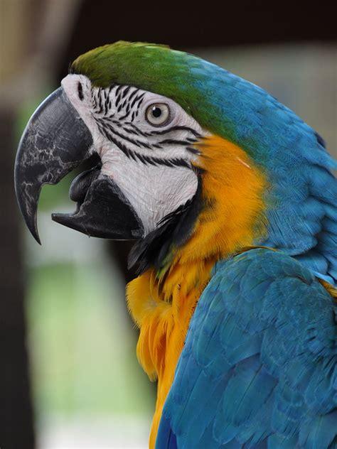 fileara ararauna jurong bird park singapore head