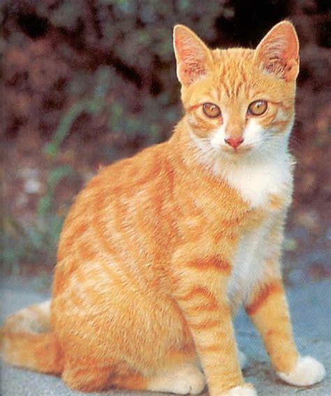 gatti persiani a pelo corto gatti europeo
