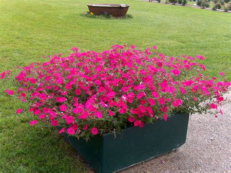 growing wave petunias guide